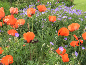 beautiful poppies and purple geum